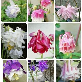 🌺花の種 西洋オダマキ ミックス(その他)