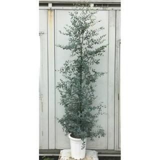 《現品》ユーカリ・グニー 樹高2.0m(鉢含まず)43【鉢/苗木/植木】(その他)