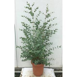 《現品》ユーカリ・グニー 樹高1.0m(鉢含まず)44【鉢/苗木/植木】(その他)