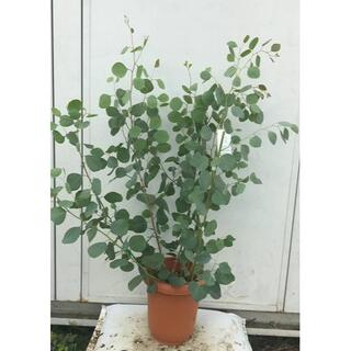 《現品》ユーカリ・ポポラス 樹高1.0m(鉢含まず)62【鉢/苗木/鉢植え】(その他)