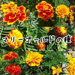 マリーゴールド 種 オレンジ系 約100粒(その他)