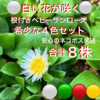 安心の根付き☆白花入り❣️ベビーサンローズ☆4色セット❣️増える⛳️初心者向き☆(プランター)