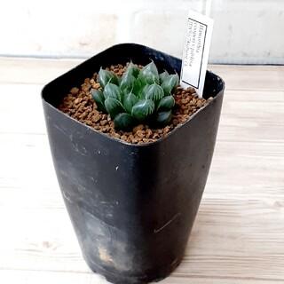多肉植物 ハオルチア クーペリ ピリフェラ JDV(その他)