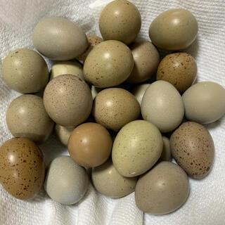 姫うずら 卵 30コ 有精卵
