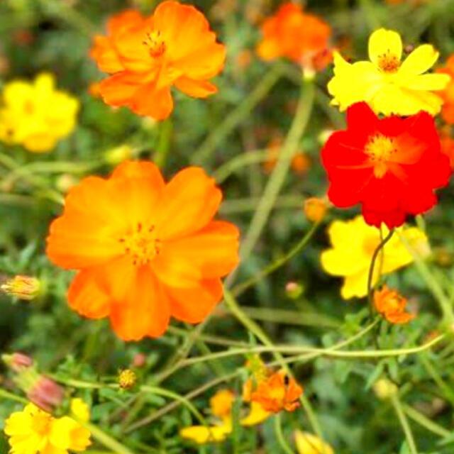 キバナコスモス(黄花秋桜)イエロー 黄色 コンパクト ハンドメイドのフラワー/ガーデン(その他)の商品写真