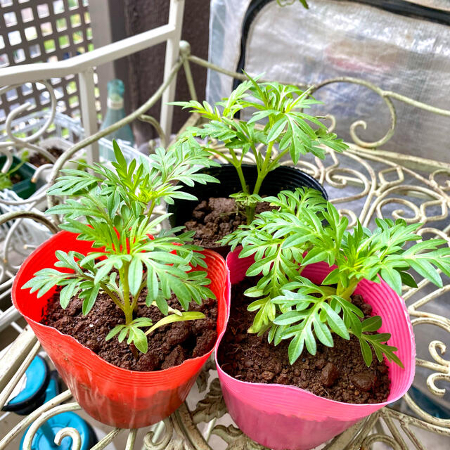 キバナコスモス(黄花秋桜)苗 赤色 レッドコンパクト ハンドメイドのフラワー/ガーデン(その他)の商品写真