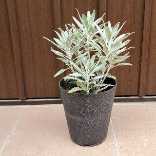 良い香りに癒されます∞♡∞カリフォルニアホワイトセージ 鉢植え(プランター)