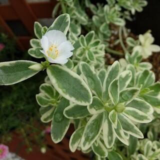 ポーチュラカ 斑入り 白花(その他)