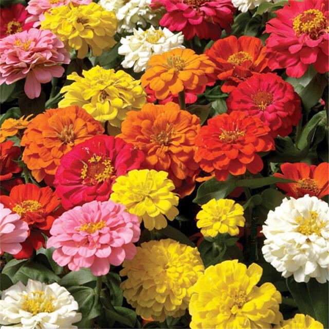 ヒャクニチソウ 百日草 花色ミックスの種30粒 ハンドメイドのフラワー/ガーデン(その他)の商品写真