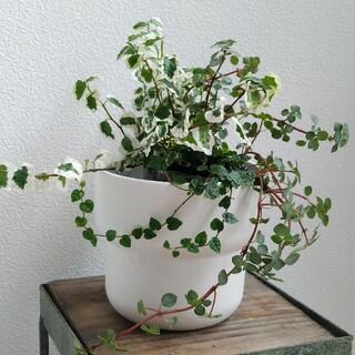 ⑤ 3種類セット フィカス プミラ 斑入り ミニマ 苗 ピレア 寄せ植え(その他)