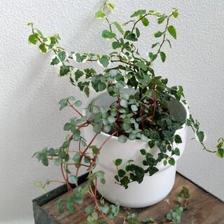 ⑥ 3種類セット フィカス プミラ 斑入り ミニマ 苗 ピレア 苗 寄せ植え(その他)