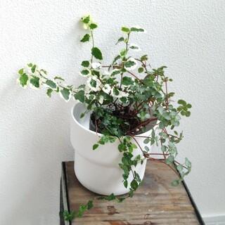 ④ 3種類セット フィカス プミラ 斑入り ミニマ 苗 ピレア 寄せ植え(その他)