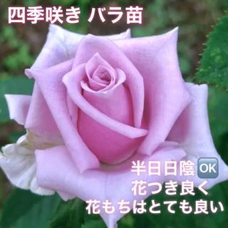 希少品種 四季咲きバラ苗   中輪〜大輪(その他)