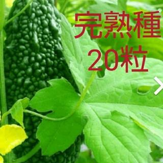 2021年の種 20粒 沖縄 あばしゴーヤ 苦瓜 ニガウリ ツルレイシ 中長 (その他)