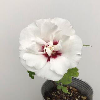 ムクゲ苗 ムクゲ 白八重中央濃いピンク 庭木 花木(その他)