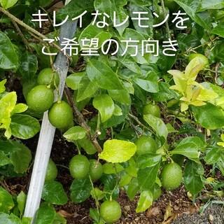 安心無農薬★ キレイ目レモン 60サイズいっぱい 2.7kg位 晴天土日収穫発送(フルーツ)