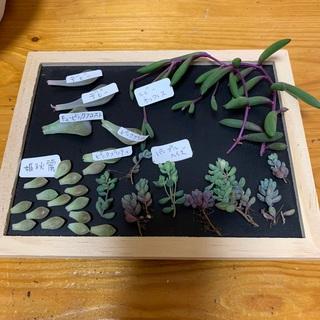 多肉植物 葉挿し増量‼️ピンク、パープル系葉挿しセット❤︎①おまとめ割あり(その他)