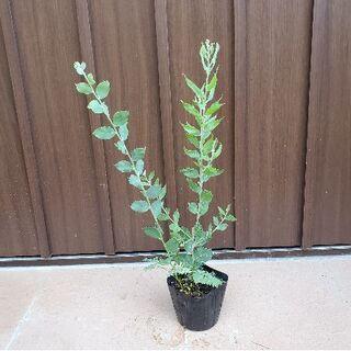 シルバーリーフ 可愛いパールアカシア ポット苗12 観葉植物 シンボルツリーに♪(プランター)