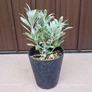 良い香りに癒されます♡カリフォルニアホワイトセージ 鉢植え 浄化のハーブ 苗(プランター)