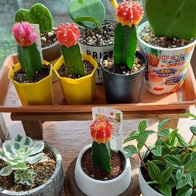 緋牡丹 サボテン 多肉植物 ハンドメイドのフラワー/ガーデン(その他)の商品写真