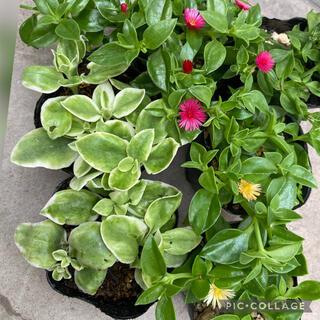多肉植物 ベビーサンローズ3種 抜き苗 根つき(その他)