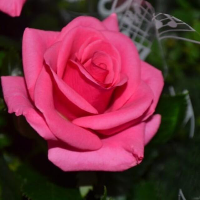 薔薇フォエバー★ミニ薔薇★薔薇★挿し木苗薔薇挿し木苗ローマフォーエバー★ミニ薔薇 ハンドメイドのフラワー/ガーデン(その他)の商品写真