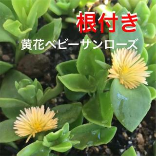 ☆黄色の花が咲く❣ベビーサンローズ‼直ぐ増える⛳️初心者向き☆(プランター)