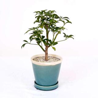 シェフレラ 観葉植物(その他)