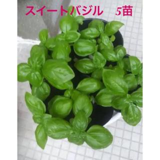 バジル スイートバジル 苗 5本 B(野菜)