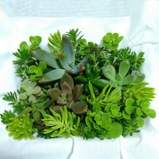 12日まで 300円【送料無料】多肉植物 カット苗 セダム 寄せ植えにも(プランター)