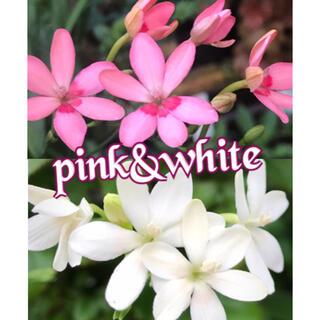 種 ヒメヒオウギ  ピンク&ホワイト(その他)