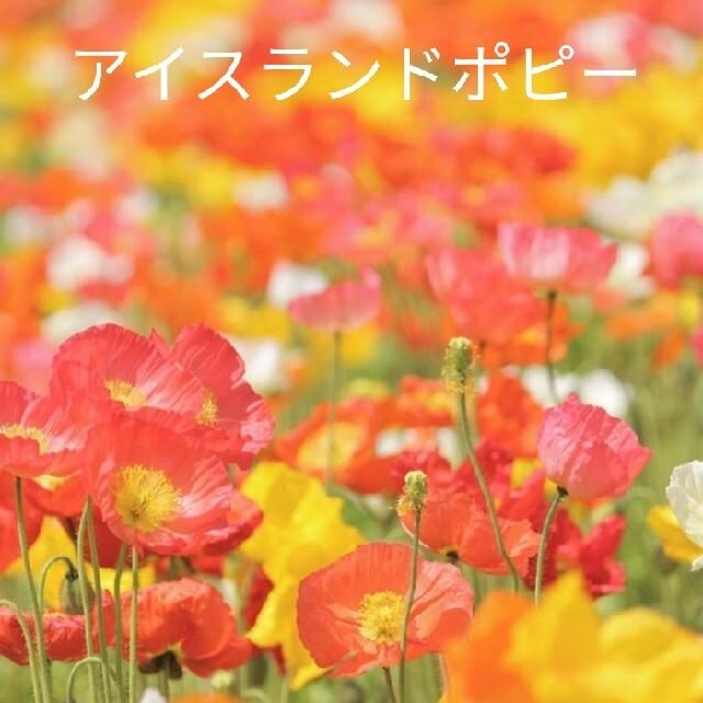 アイスランドポピー  花種  たくさん ハンドメイドのフラワー/ガーデン(その他)の商品写真