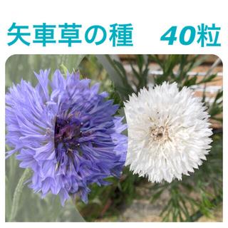 矢車草の種40粒(その他)