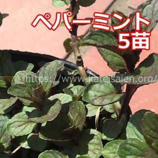 ■ペパーミント苗 5株セット ハーブ野菜苗☆無農薬栽培♪(その他)