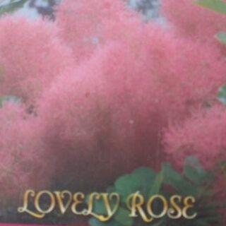 スモークツリー ラブリーローズ 花色が可愛い♪♪(プランター)