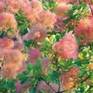 スモークツリー バイカラー 花穂のグラデ―ジョンがかわいい♪(プランター)