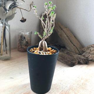 トリコディアデマ 姫紅子松 鉢付き コーデックス 塊根植物(プランター)