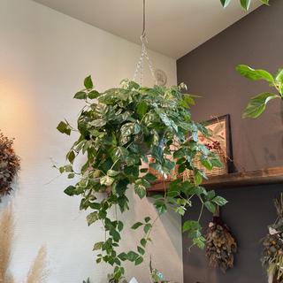 グレープアイビー 大きな観葉植物 吊るす観葉植物(その他)
