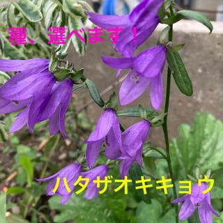 種 選べる花の種子② 宿根草 耐寒性 エキナセア(その他)