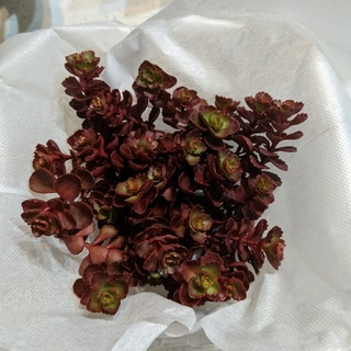 多肉植物 ドラゴンズブラッドスーパーレッド斑入りトリカラーセット40カット(その他)