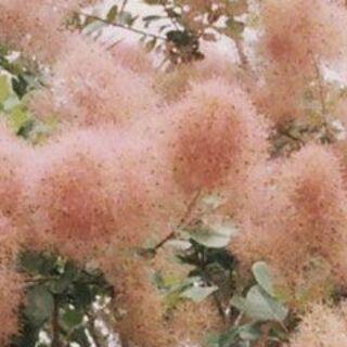 スモークツリー ピンクボール 可憐なピンク色の花穂(プランター)