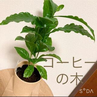 コーヒーの木 苗木 ポットごと おしゃれ観葉植物 鉢底〜35センチほど(その他)
