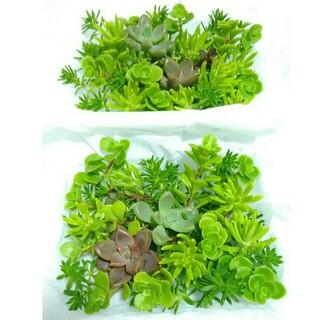 2パック分300円【送料無料】多肉植物 カット苗 セダム 寄せ植えにも(プランター)