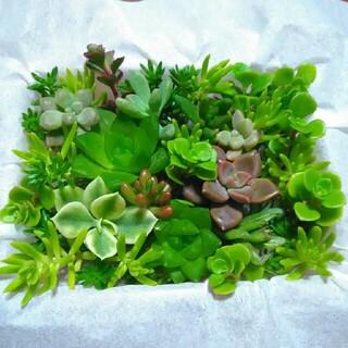 1パック499円【送料無料】多肉植物 カット苗 セダム 寄せ植えにも(プランター)