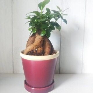 みかんママ様ご確認用❗️可愛いガジュマル♪アンティーク陶器鉢‼️聖木*精霊宿る(プランター)