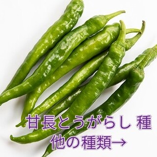 野菜種☆甘長とうがらし☆変更→丸オクラ カラフル人参 わさび菜 オカヒジキ 春菊(野菜)