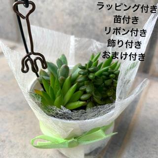 多肉植物 ラッピング付き(その他)