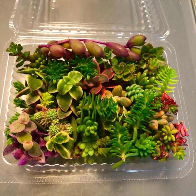 多肉 セダム エケベリア カット苗 寄せ植え セット ハンドメイドのフラワー/ガーデン(その他)の商品写真