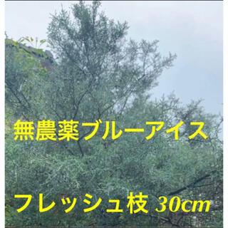 ブルーアイス⭐️フレッシュ枝30cm2本⭐️スワッグ /リース/ 生花など花材に(その他)