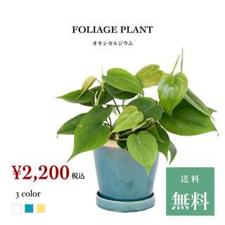 観葉植物 オキシカルジウム (その他)